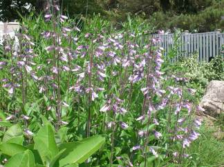Hairy Beardtongue (Penstemon hirsutus) in bloom.