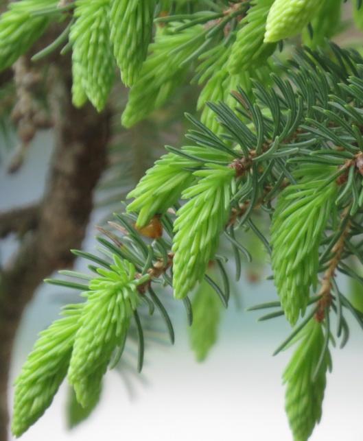 spruce_buds