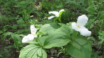 White Trillium Trillium grandiflorum