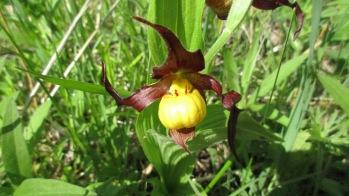 Small Yellow Lady's Slipper Cypripedium parviflorum var makasin