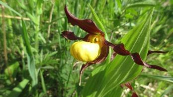 Small Yellow Lady's Slipper Cypripedium parviflorum var makasin